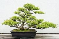 Cours : autour du bonsaï